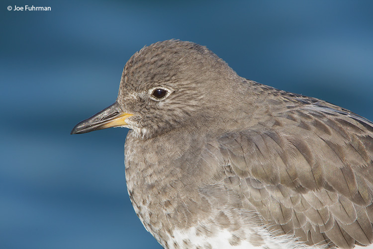 Surfbird L.A. Co., CA   October 2008