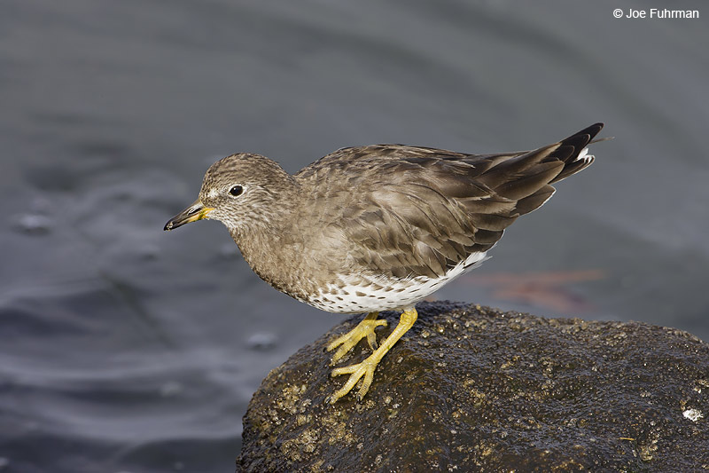 Surfbird L.A. Co., CA   February 2008