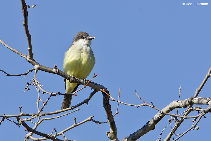 Thick-billed Kingbird L.A. Co., CA    December 2008
