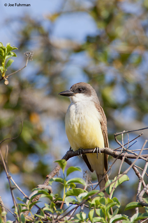 Thick-billed Kingbird San Diego Co., CA   January 2006