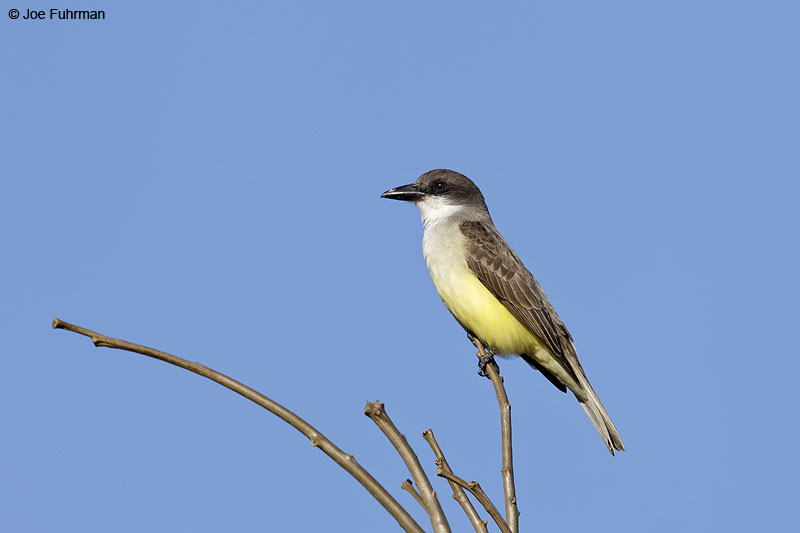 Thick-billed Kingbird El Tuito, Jal., Mexico   March 2013