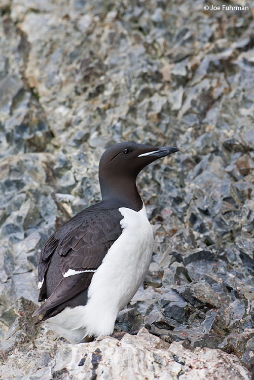Thick-billed Murre Svalbard, Norway   July 2008