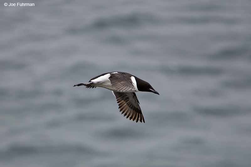 Thick-billed Murre St. Paul Island, AK   Aug. 2010