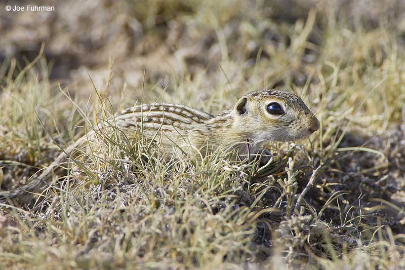Thirteen-lined Ground Squirrel   Weld County, CO   July 2006