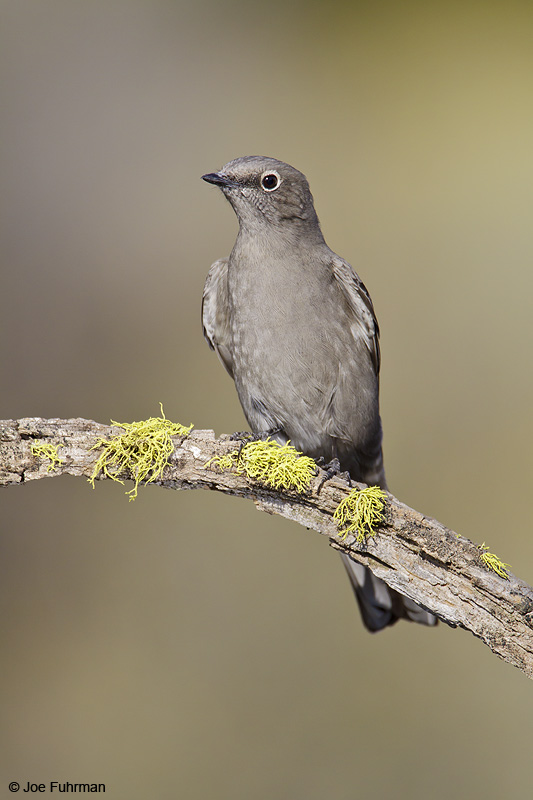 Townsend's Solitaire Lake Co., OR September 2009