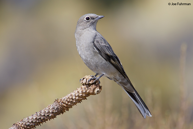 Townsend's Solitaire Lake Co., OR September 2006