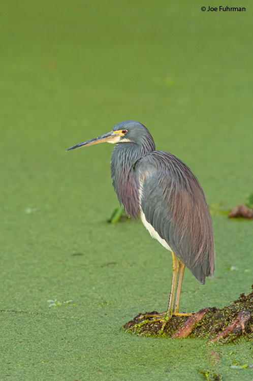Tricolored Heron Broward Co., FL January 2005
