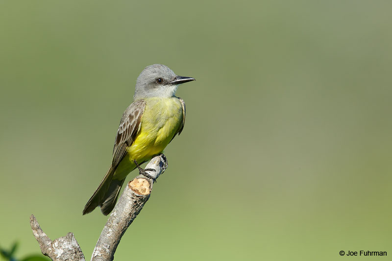 Tropical Kingbird Jalisco, Mexico April 2015