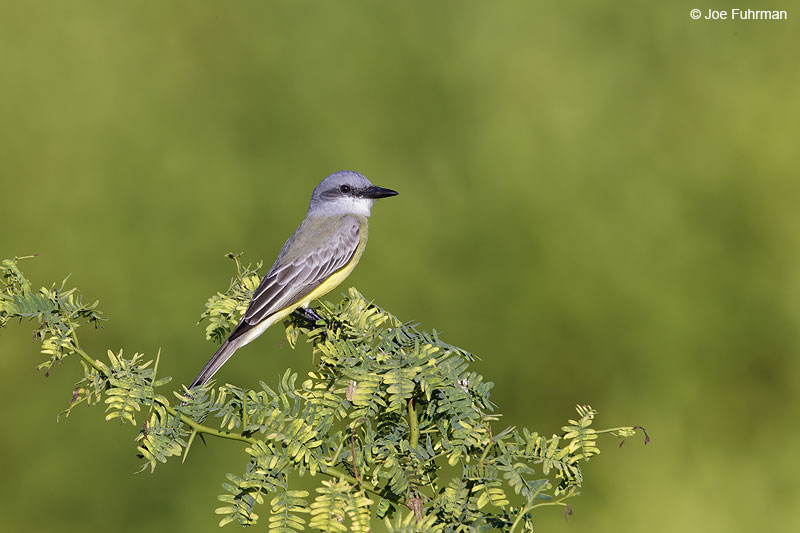 Thick-billed Kingbird Nay., Mexico Dec. 2013