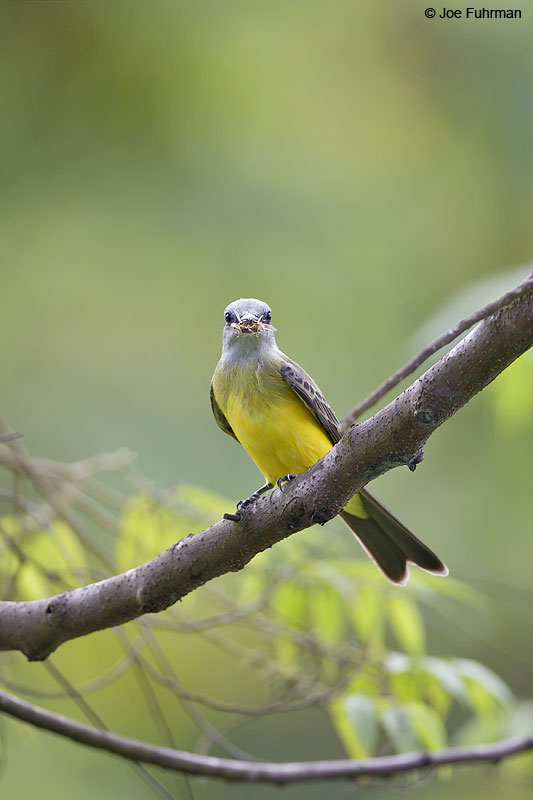 Tropical Kingbird Trinidad And Tobago Dec. 2012
