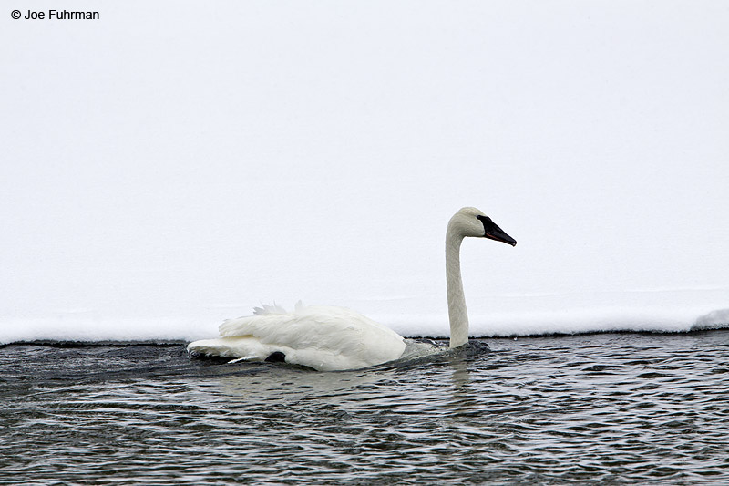 Trumpeter Swan Yellowstone National Park, WY   February 2010