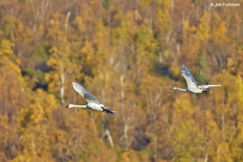 Trumpeter Swan Anchorage, AK    Oct. 2012