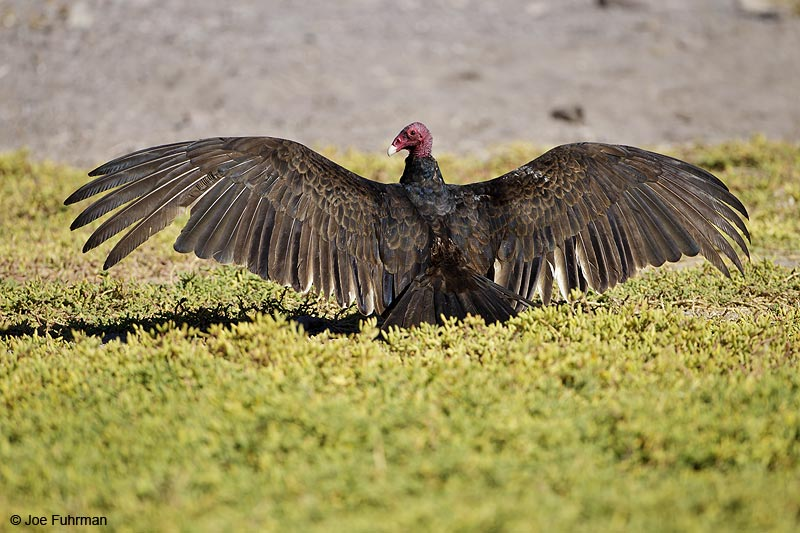 Turkey Vulture BCS, Mexico March 2011
