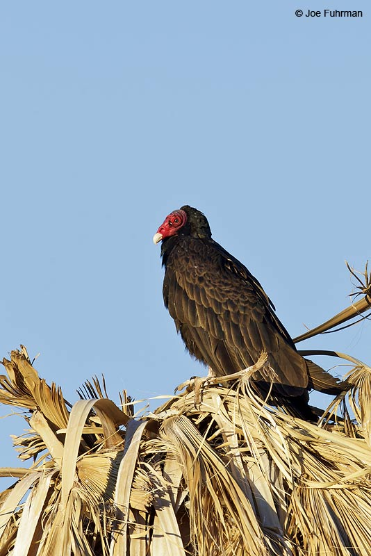 Turkey Vulture Riverside Co., CA April 2013
