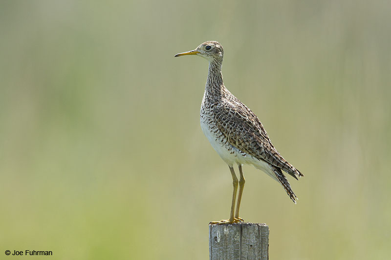Upland Sandpiper Morrill Co., NE   May 2014