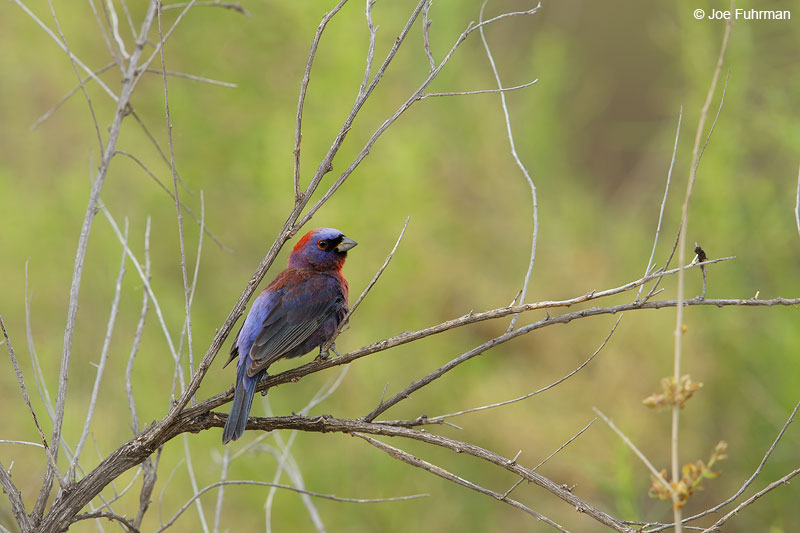 Varied Bunting maleSanta Cruz Co., AZ   June 2015