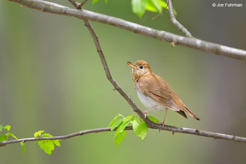 Veery Lackawanna Co., PA   May 2016
