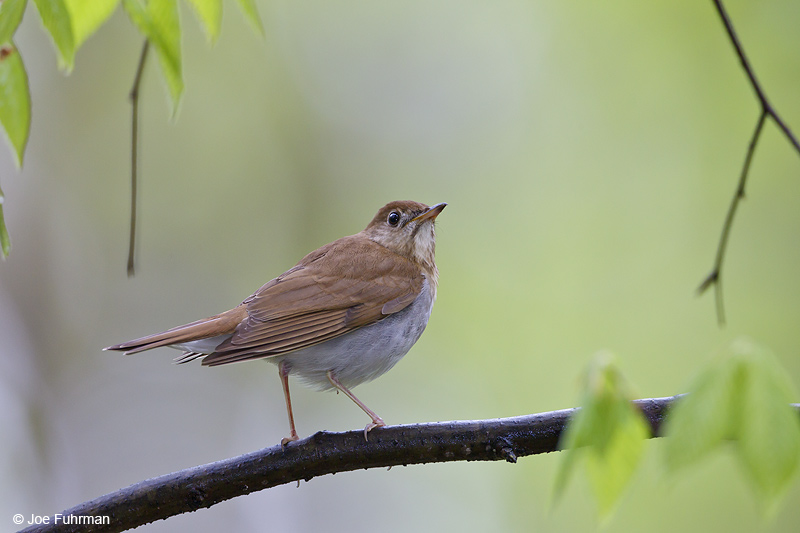 Veery Cattaraugus Co., NY May 2012