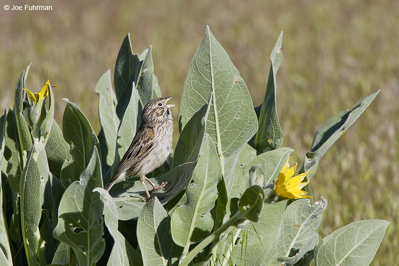 Vesper Sparrow   Mono Co., CA   June 2006