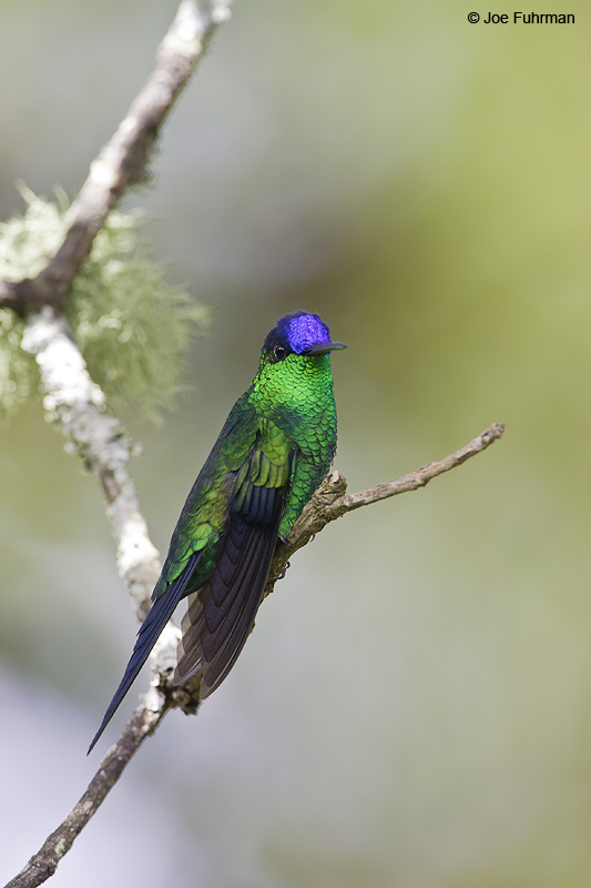 Violet-capped Woodnymph Itatiaia N.P.,  BRZ. March 2008 c. Joe Fuhrman