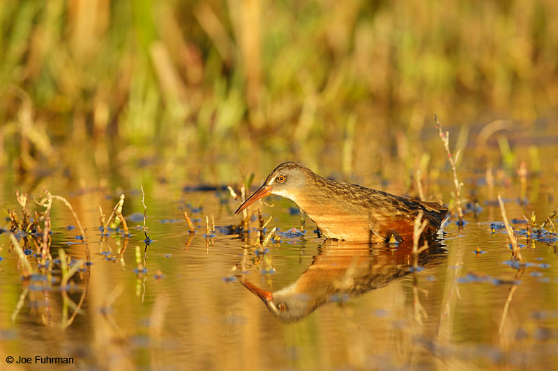 Virginia Rail Ventura Co., CA September 2015