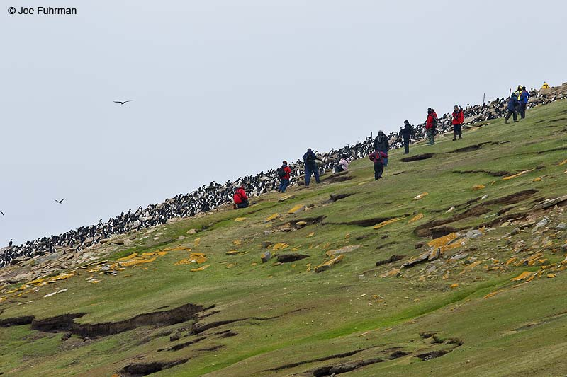Rockhopper Penguin rookery Saunders Island, Falkland Islands Nov. 2010