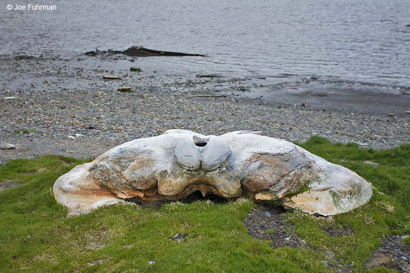 Whale skullGrytviken, South Georgia Island Nov. 2010