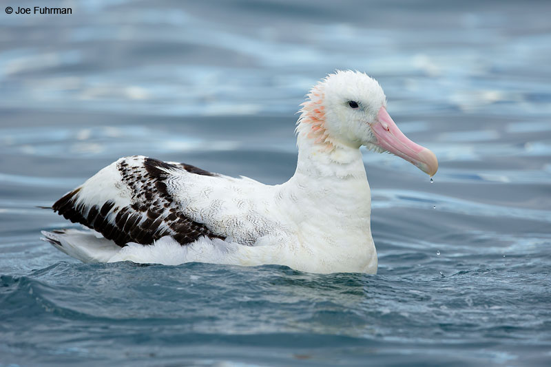 Wandering AlbatrossKaikoura, New Zealand   Dec. 2014
