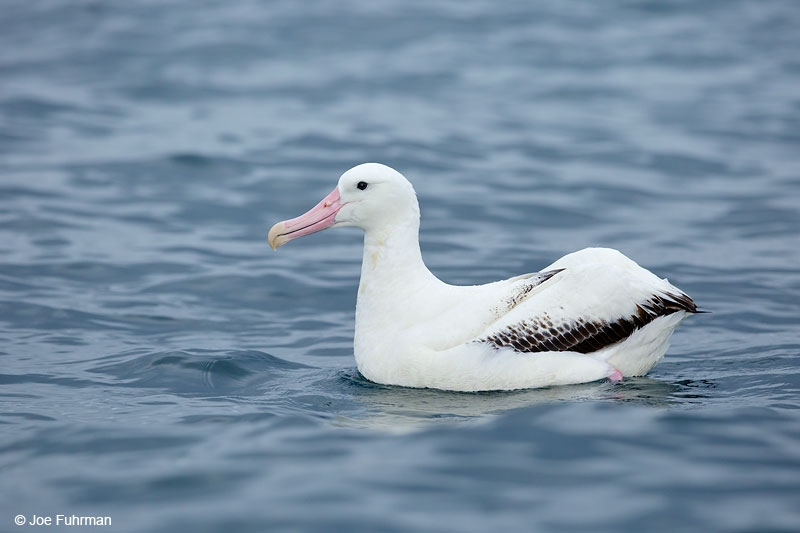 Wandering Albatross Kaikoura, New Zealand   Dec. 2014