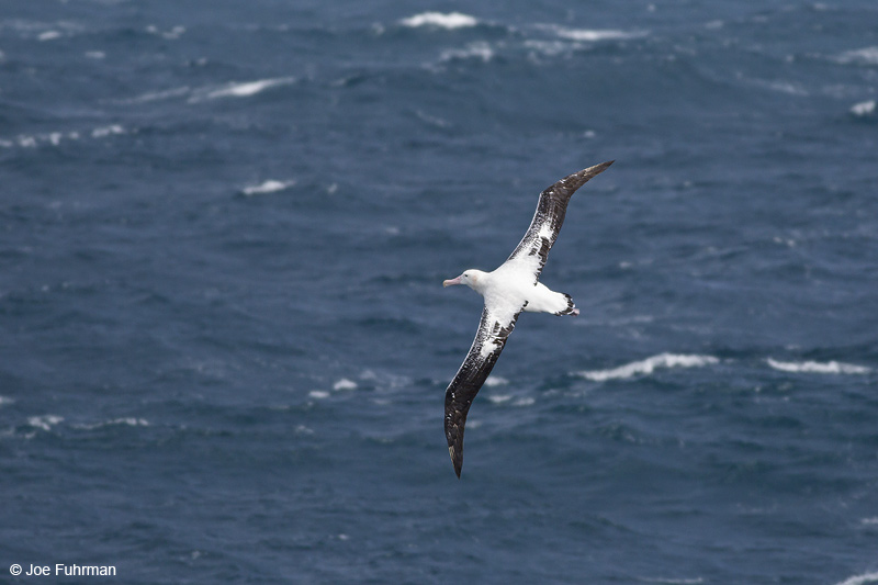Wandering Albatross S. Atlantic Ocean near S. Georgia Is.     Nov. 2010