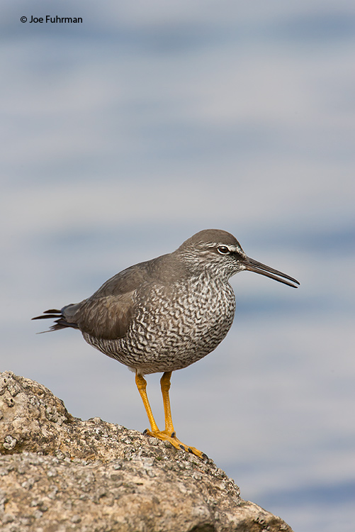 Wandering TattlerL.A. Co., CA   May 2008