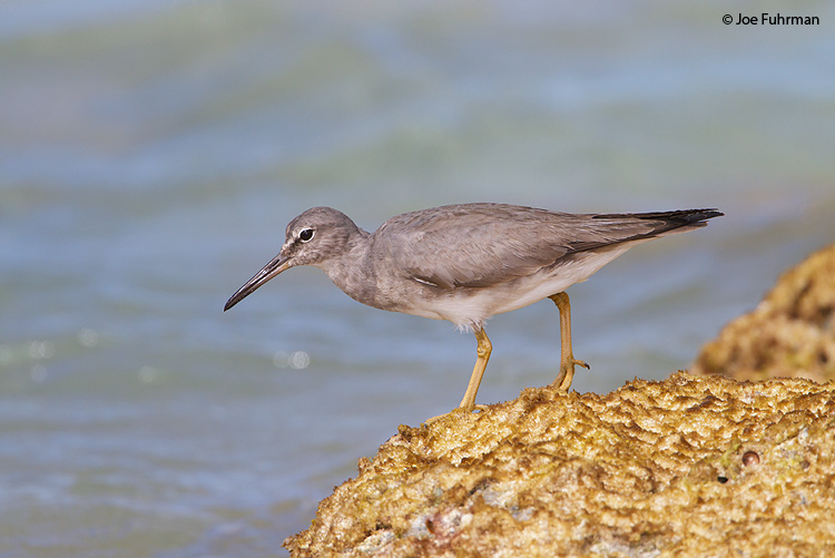 Wandering TattlerMidway Atoll, HA   March 2010