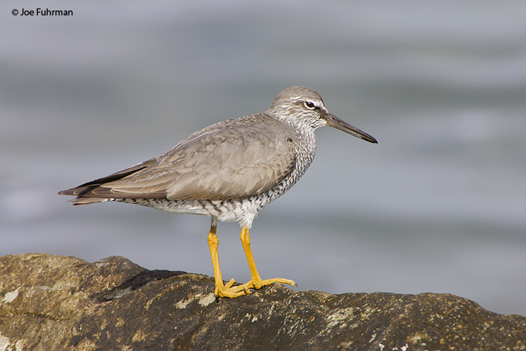 Wandering TattlerL.A. Co., CA   April 2008
