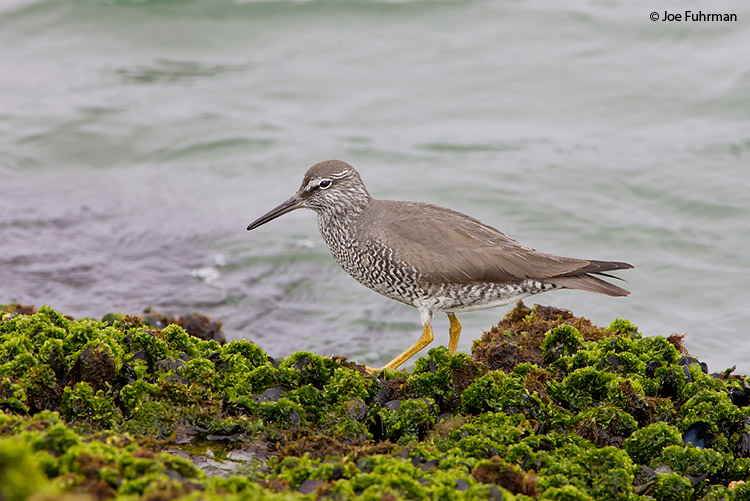 Wandering Tattler breedingL.A. Co., CA   May 2008