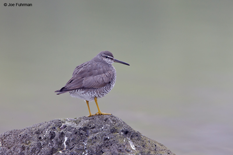 Wandering Tattler-adult breedingSt. Paul Island, AK   Aug. 2010