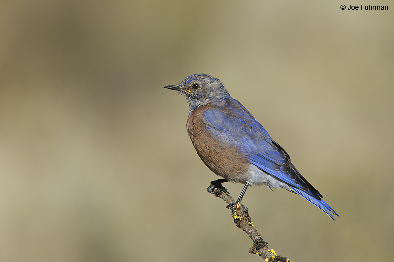 Western Bluebird juvenile Lake Co., OR Sept. 2010