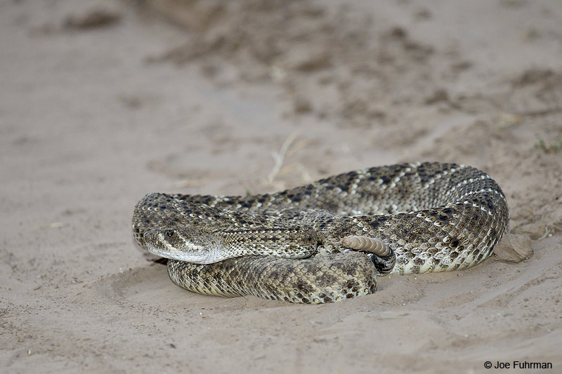 Western Diamondback Rattlesnake Starr Co., TX    April 2012