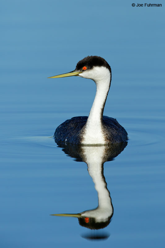 Western Grebe Orange Co., CA   Jan. 2015
