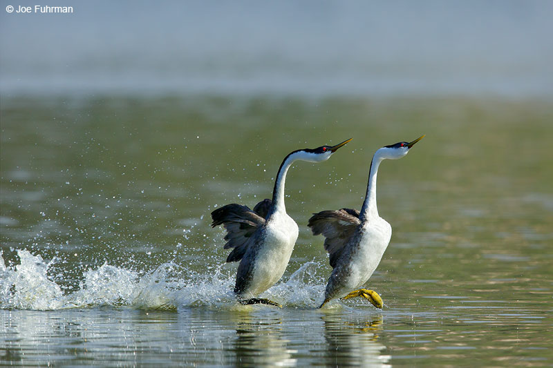 Western Grebe rushing San Diego Co., CA   March 2015