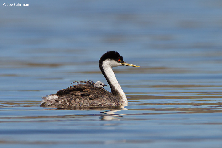 Western Grebe San Diego Co., CA   May 2010