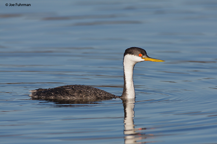 Western Grebe San Diego Co., CA   December 2008