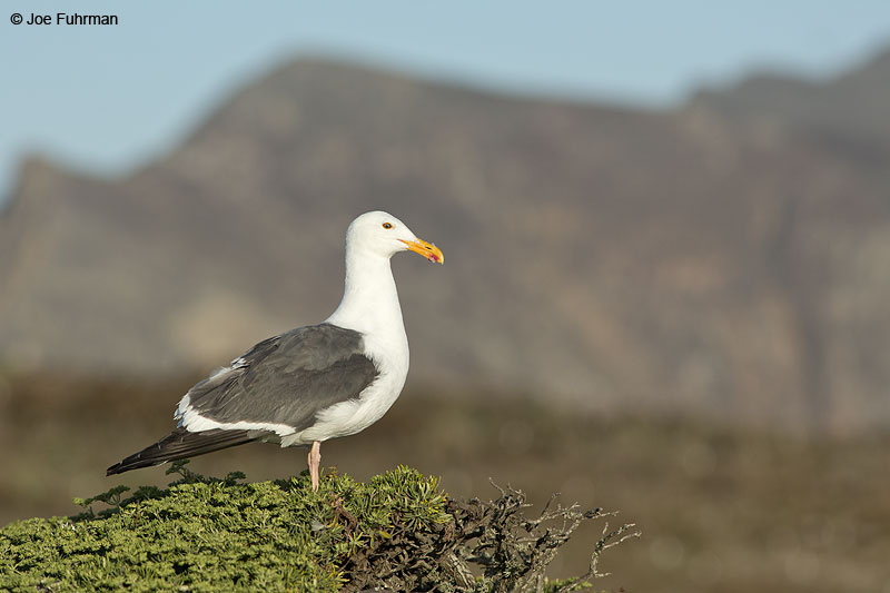 Western Gull Anacapa Island-Channel Islands N.P., CA June 2014