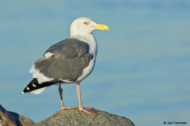 Western Gull-occidentalis L.A. Co., CA    October 2016