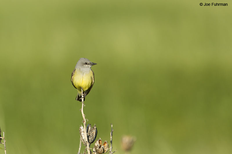 Western Kingbird Scotts Bluff National Monument, NE   June 2014