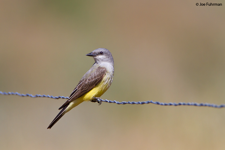 Western Kingbird San Diego Co., CA   May 2010