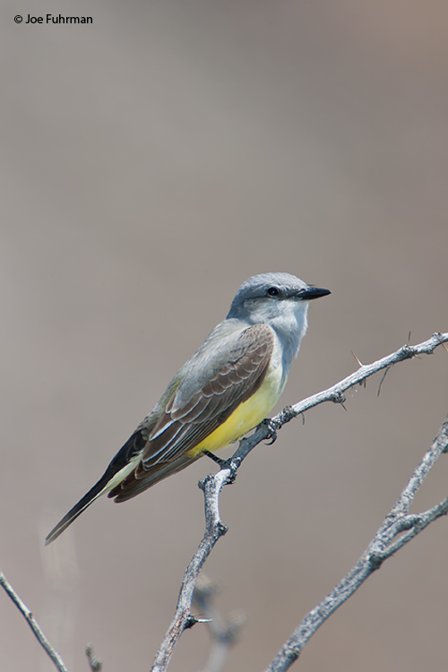 Western Kingbird Riverside Co., CA   April 2006