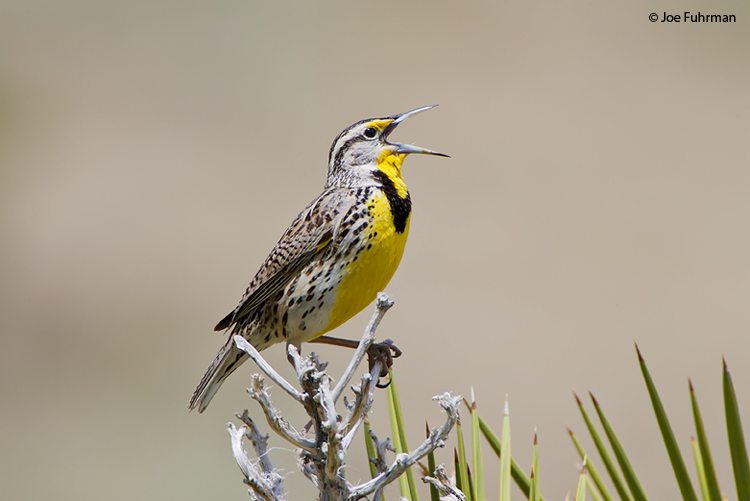 Western Meadowlark Kern Co., CA April 2006