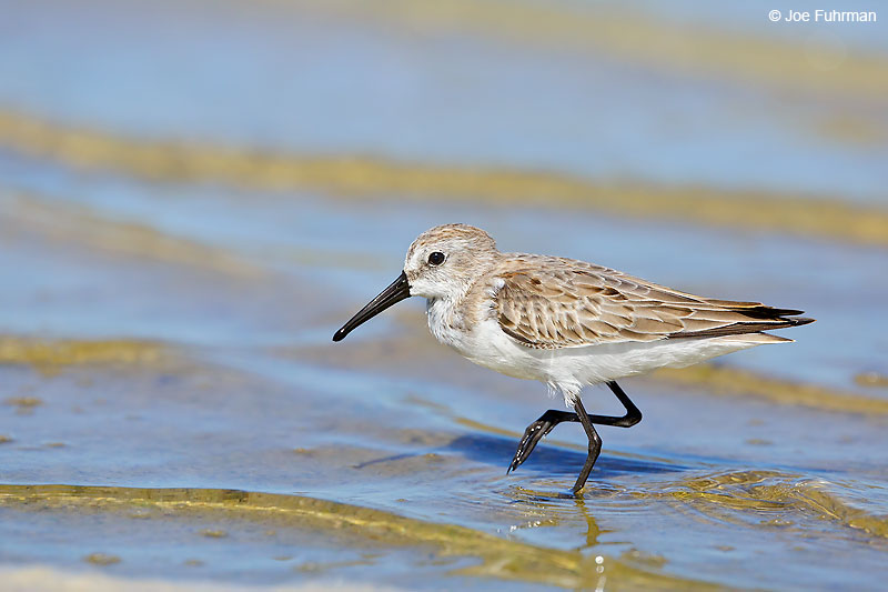 Western Sandpiper Tamaulipas, Mexico   Sept. 2016