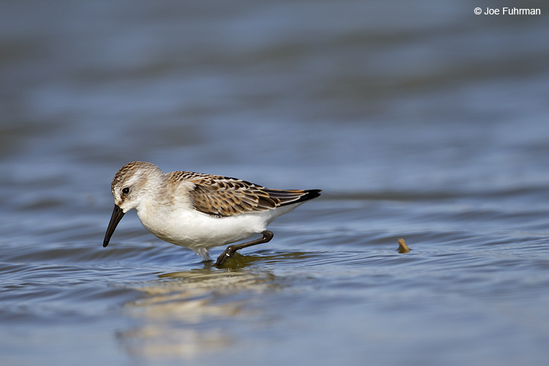 Western Sandpiper Ventura Co., CA August 2012