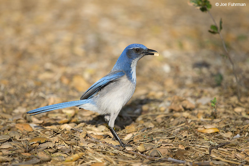 Western Scrub-Jay Monterey Co., CA March 2014